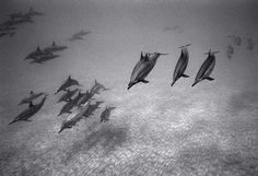 """Wayne Levin (@waynelevinimages) on Instagram: """"Approaching Spinner Dolphins Over Sand #waynelevin #filmphotography #freediving #kona #pacificocean…"""""""