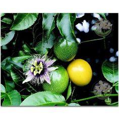 HAWAIIAN-PASSION-FRUIT-SEEDS-1-PACK-Garden-Best-Gift