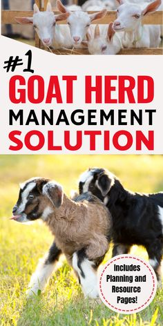 Raising goats made easy! The Busy Homesteader's Goat Management Binder is your one stop for all of your goat care and needs! Breeding Goats, Small Goat, Kid Dates, Nubian Goat, Goat Care, Nigerian Dwarf Goats, Raising Goats, Kids Checklist, Goat Farming
