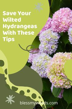 Take it from me ... a few simple steps will get your wilted hydrangeas revived and looking new again. Hint: the secret is in your kitchen!  #gardeninghelp #blessmyweedsblog #revivehydrangeas Hydrangea Care, Hydrangea Flower, Hydrangeas, Flower Pots, Big Flowers, Purple Flowers, Spring Flowers, Beautiful Flowers, Gutter Garden