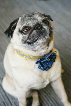 Pug is smiling with both his eyes and his muzzle!