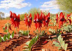Sturt Desert Peas | by john white photos Australian Wildflowers, Australian Native Flowers, Australian Plants, Desert Colors, Desert Flowers, Wild Flowers, Waratah Flower, Mid Century Landscaping, Australia Landscape