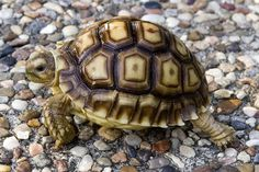 There are numerous types of tortoise, including the Red Footed Tortoise, the African Spurred Tortoise, and the species picked most commonly as pets Red Footed Tortoise, Tortoise As Pets, Tortoise Food, Sulcata Tortoise, Giant Tortoise, Tortoise Turtle, Pet Turtle, Turtle Love, Different Types Of Turtles