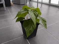 Red Habanero chili pepper. Capsicum chinense.