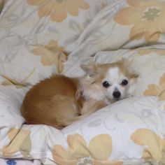 あーもう行くの これからこっちは寝るんでーあとよろしくー    お見送りはもちろんありません  #holgadigital #chihuahua #dog #dogoftheday #dogofthedayjp #dogsofinstagram #チワワ #ふわもこ部 #chihuahuadog #chihuahuaofinstagram #animal #onlychihuahua  #しっぽふぁさ部