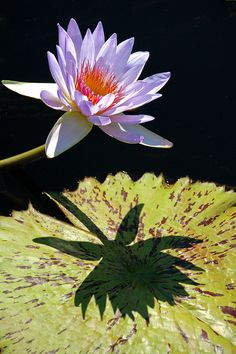 Water Lily and Shadow