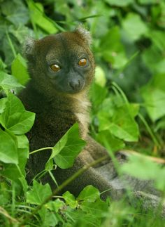 Greater Bamboo Lemur | Greater bamboo lemur at BesanconBelieved to have been extinct until 1972.  Critically endangered due to human expansion and habitat loss.  Feeds primarily on bamboo.  Population is estimated to be around 1,000.  Would be difficult to relocate due to its diet of bamboo.