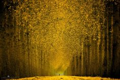This golden lane is over a mile long. One can not see the end with the bare eye.