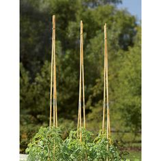 Sectional Bamboo Poles, Set of 9 Bamboo Poles, Tomato Cages