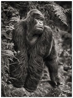 The #Gorilla, one of the most magnificent animals out there. Thank you, #MotherNature; you did damn good.
