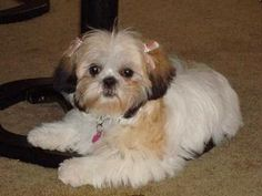 pictures of a teddy bear hair cuts | hope this helped all you Shih Tzu owners out there THANKS!
