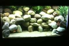 120 gallon african mbuna cichlids aquarium