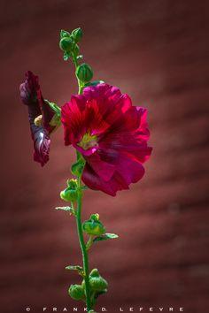 Stockrose - Bauernrose #red #flowersl