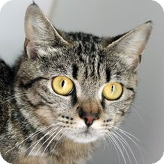 Domestic Shorthair Cat- Tabby