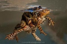 Toads Mating By Tumbhi Artist Mike Pearce