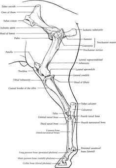 Disorders of the Tarsus in Horses: Bone, Joint, and Muscle
