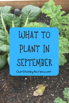 5 Crops you can still plant in September - Our Stoney Acres There are still a few seeds that you can plant in your vegetable garden in September. Plant these 5 plants in September and you can still get a harvest this fall. Fall Vegetables, Planting Vegetables, Organic Vegetables, Planting Seeds, Growing Vegetables, Veggies, Autumn Garden, Spring Garden, Gardening For Beginners