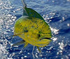 Mahi Mahi, Dorado, or Dolphin Fish, which ever name you call it they are fun to catch and good eating.