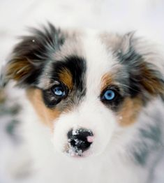 Australian Shepherd Puppy - ive always wanted one! Australian Shepherds, Australian Shepherd Puppies, Aussie Puppies, Cute Puppies, Cute Dogs, Dogs And Puppies, Doggies, Animals And Pets, Baby Animals