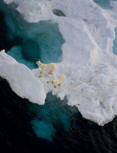 polar bears on ice