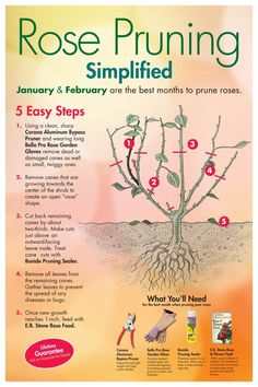 to prune roses properlyhow to prune roses properly Homestead Survivalist: Gardening Tips For Growing Roses - Everything You Need To Know About Growing Roses Rose malady diagram to identify disease within the plant. Train Roses to Produce More Flowers Garden Yard Ideas, Lawn And Garden, Garden Projects, Garden Decorations, Lee Garden, Garden Plants, Flowers Garden, Planting Flowers, Pruning Plants