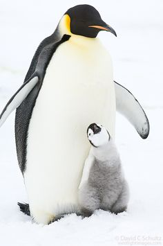 An adult Emperor penguin with a chick on the frozen Weddell Sea near Snow Hill Island, Antarctica.