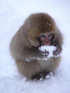 nihon zaru | Japanese macaque or 'snow monkey'