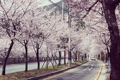 Cherry Blossoms, Busan. #spring