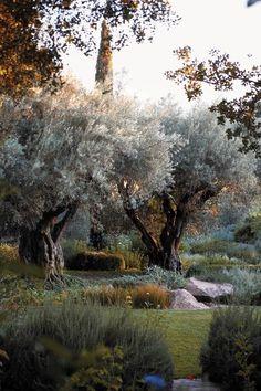 Oliveiras em um jardim de texturas e folhagens interessantes. Em uma vinícola do Vale Napa, estado da Califórnia, USA. Paisagismo: Thomas Hobbs.  Fotografia: Shaun Sullivan.