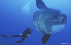 Sunfish are a member of the order Tetraodontiformes, which also...