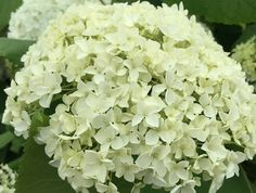 Hydrangea Annabel, so stunning at this time of the year Time Of The Year, Hydrangeas, Flower Power, Contemporary, Twitter, Rose, Garden, Flowers, Garten