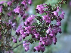 Erica placentiflora