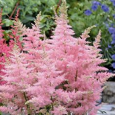 Astilbe arendsii pink Jump and Jive - 1 plant buy online order now
