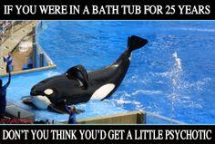 free orcas from captivity   whales,dolphins,animals,captivity,sea,world,