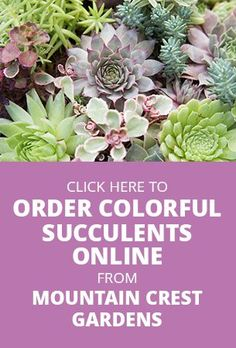 Buy beautiful colorful succulents online from Mountain Crest Gardens Where To Buy Succulents, Propagate Succulents From Leaves, How To Water Succulents, Colorful Succulents, Growing Succulents, Small Succulents, Succulents In Containers, Succulent Fertilizer, Succulent Seeds