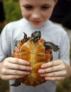 Andrew Kimball, 9, of Brockton holds a turtle before setting it into the wild. Greg Derr/The Patriot Ledger