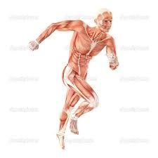 """Résultat de recherche d'images pour """"anatomie humain"""""""