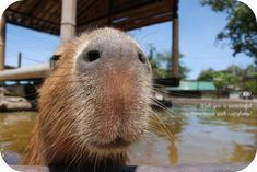 Capybara! I have actually touched one. They have course hair, like a pig.