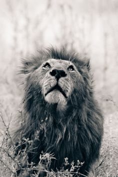 """""""Every knee will bow, every tongue confess that Jesus Christ is Lord"""" - if the rocks could cry out in Praise of Him, what  is hard about believing that animals can worship Him? Reminds me of Aslan..."""