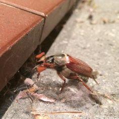 Der Mai ist gekommen die Maikäfer sind unterwegs. Leider sieht man sie nur noch ganz selten. #maikäfer #mai #käfer #nature #selten #maybeetle #beetle #may