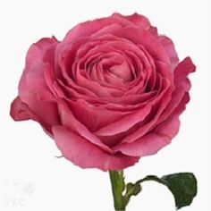 Rose All 4 Love 70cm is a lovely Pink cut flower - wholesaled in Batches of 20 stems. As a rule of thumb, the taller the stem the larger the flower head & longer the vase life.
