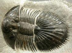 Thysanopeltis speciosus