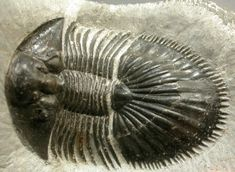 http://www.collectingfossils.org/moroccan-trilobites/Thysanopeltis-speciosus/Thysanopeltis-speciosus.htm