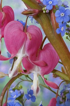 ~~Detail of bleeding hearts and Brunnera Jack Frost flowers by Danita Delimont~~ What a lovely combination. Flower Close Up, My Flower, Flower Power, Bleeding Heart Flower, Bleeding Hearts, Very Beautiful Flowers, Pretty Flowers, Exotic Plants, Exotic Flowers
