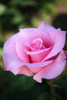 Picture Hybrid Tea rose T Kiya Beautiful Rose Flowers, Pretty Roses, Love Rose, All Flowers, My Flower, Cactus Flower, Exotic Flowers, Purple Flowers, White Flowers