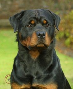 BEAUTIFUL! #rottweiler