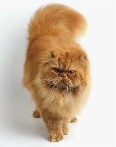 """Gato Persa -   o gato """"persa"""" foi """"criado"""" na Inglaterra  no seculo XIX, os seus criadores britanicos, cruzaram algumas raças ate encontrar uma raça """"perfeita"""" e chegaram nessa criatura linda """"não minha favorita""""  ele veio da mistura do Gato Angorá Turco com um gato europeu. suas características são.  pelo longo groço e macio, e com focinho achatado e orelhas curtas, suas cores variam."""