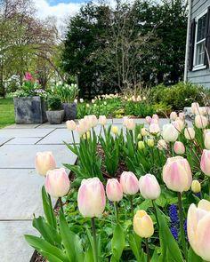 """148 """"Μου αρέσει!"""", 18 σχόλια - Susan Nock (@sngardendesign) στο Instagram: """"Happy Mother's Day from our home to yours! . . . #happymothersday #tulips #springflowers…"""" Plants, Instagram, Plant, Planets"""
