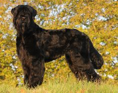 black russian terrier grooming instructions - Google Search