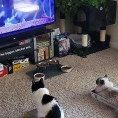 Friday night TV time.  We love it when we control the remote! Submitted by: Lindsay Murvine #catlife #catsoftheday #whatcatsdo #catlover #fridaynight #fridaynightvibe #pawfection #catlady #catblogger #tvtime